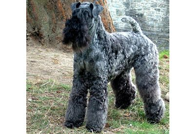 The kerry blue terrier club of england