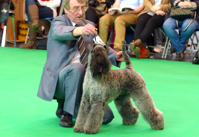 Kerry Blue Terrier being shown at Crufts by Don Munro