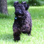 A happy energetic Kerry Blue Terrier