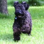 A happy energetic Kerry Blue Terrier
