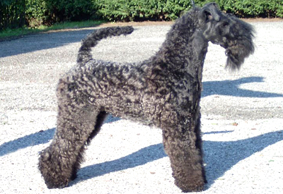 Photo of Blue Velvet Sunlight, a Kerry Blue Terrier