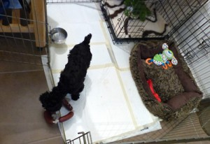 A young puppy happy in her home - play pen, crate, bed, toys and peepads!