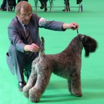 Don Munro – Vice Chairman of the UK Kerry Blue Terrier Association showing at Crufts